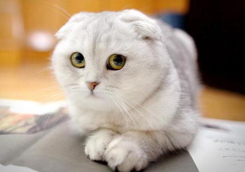 折耳猫训练之如何训练折耳猫用猫砂盘