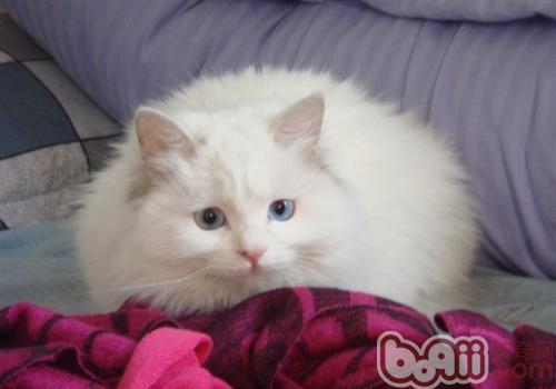 山东狮子猫
