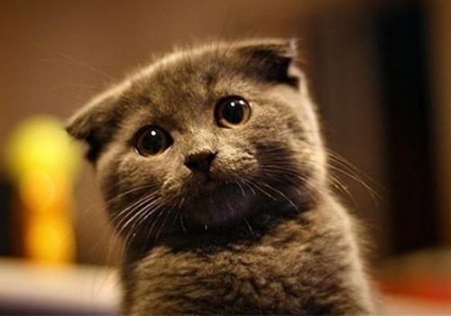 折耳猫训练之如何训练折耳猫不抓家具