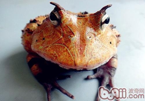 亚马逊角蛙品种简介