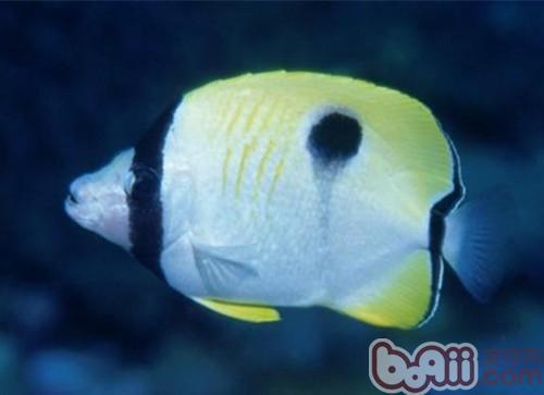 单斑蝴蝶鱼