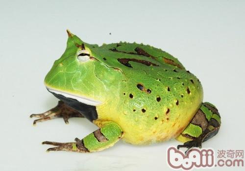 亚马逊角蛙的生活环境