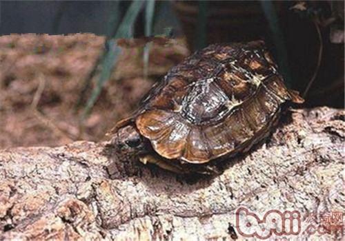 荷叶陆龟的外貌特征