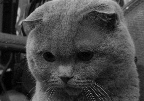 苏格兰折耳猫掉毛多吗