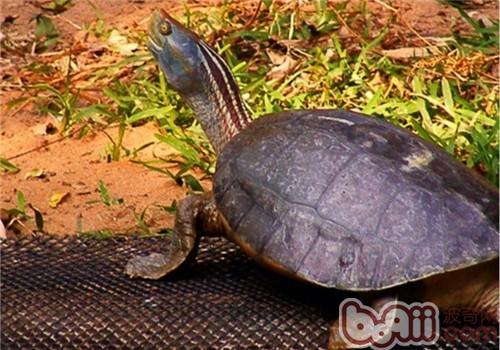 红冠棱背龟的饲养要点