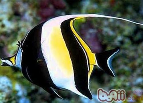 多棘马夫鱼的品种简介
