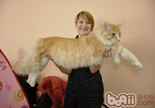 缅因猫好养吗