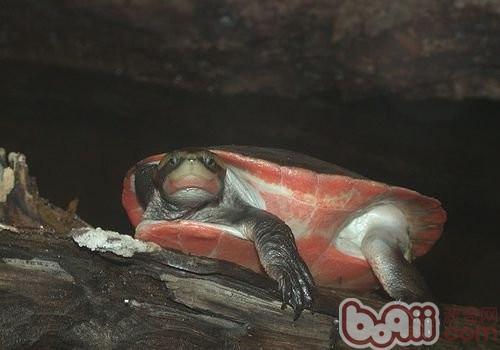 红腹短颈龟的品种简介