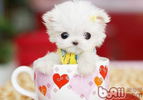茶杯犬容易难产吗