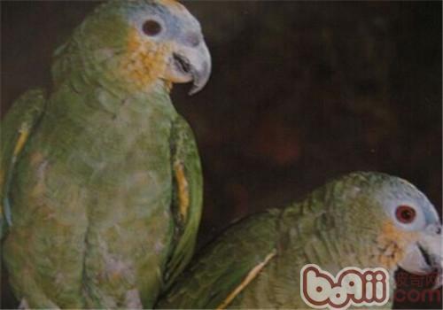 圣文生亚马逊鹦鹉的品种简介