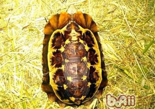 荷叶陆龟的护理要点