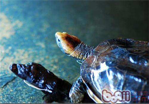 红头蛇颈龟的食物选择