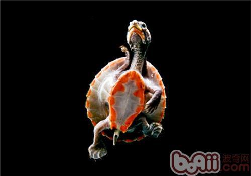 红腹短颈龟的食物选择