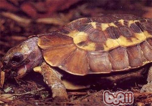 荷叶陆龟的品种简介