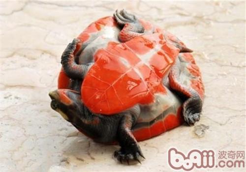 红腹短颈龟的形态特征