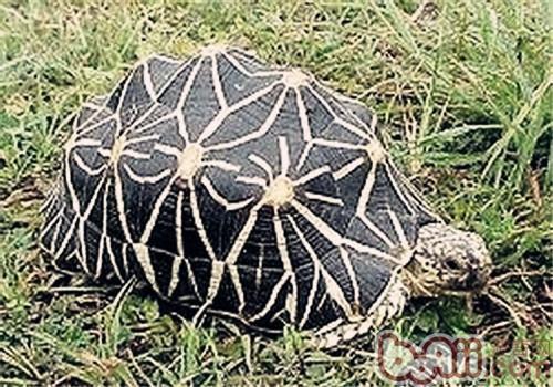 几何陆龟的形态特征