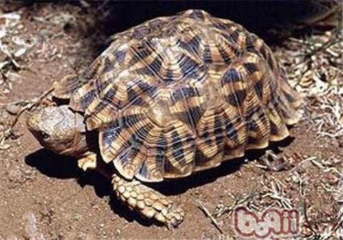 几何陆龟的生活环境