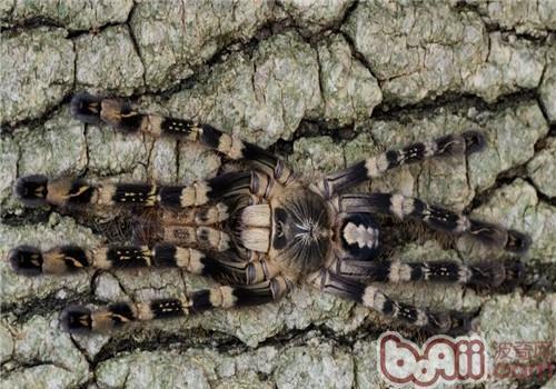 象牙华丽雨林的饲养环境