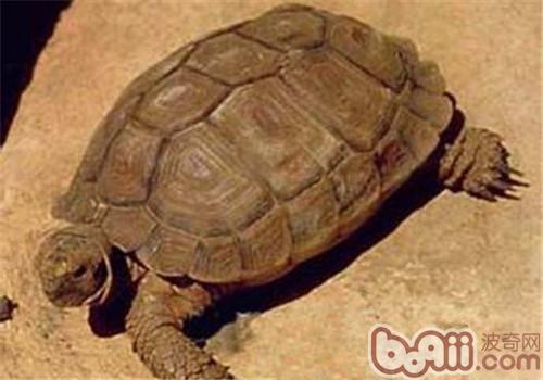 卡鲁海角陆龟的外观特征
