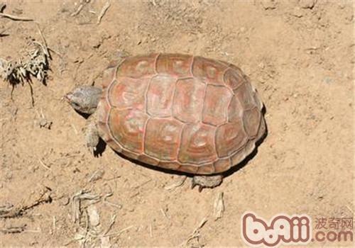 卡鲁海角陆龟的品种简介