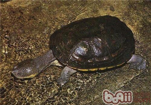 巨头蛇颈龟的饲养要点