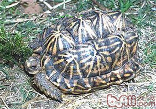 几何陆龟的饲养要点
