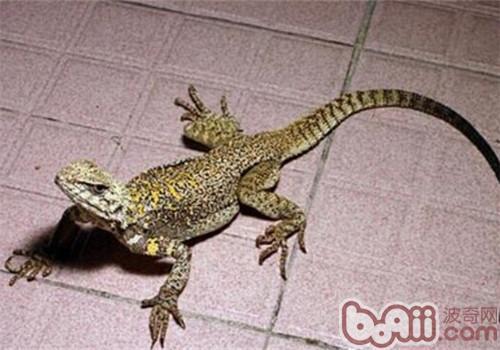 新疆岩蜥的饲养环境
