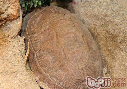 卡鲁海角陆龟的护理知识