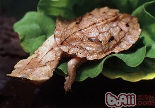 枯叶龟的品种简介