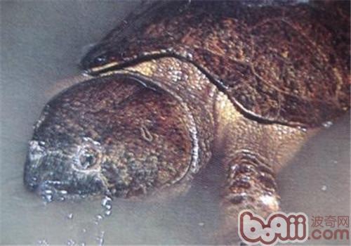 神免龟画法图解