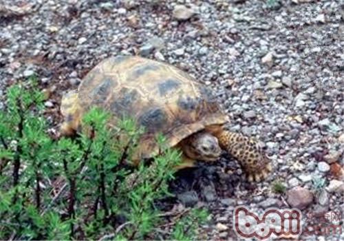 墨西哥地鼠龟的饲养要点