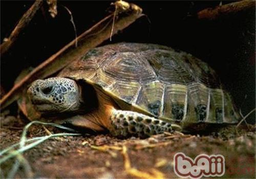 墨西哥地鼠龟形态特征
