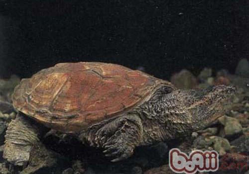 南美拟鳄龟的饲养要点