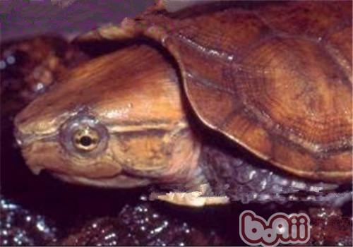 缅甸平胸龟的护理知识