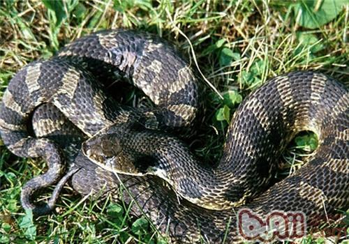 猪鼻蛇的品种简介