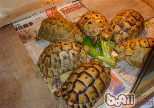 欧洲陆龟的外观特征
