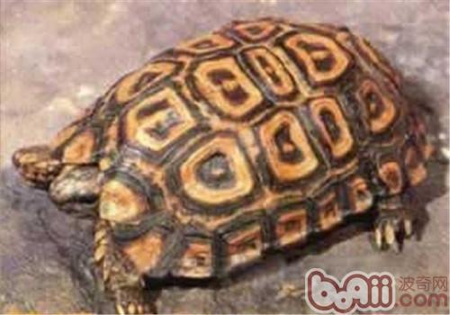 纳塔尔折背陆龟的品种简介