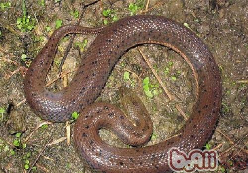 中国水蛇的形态特征