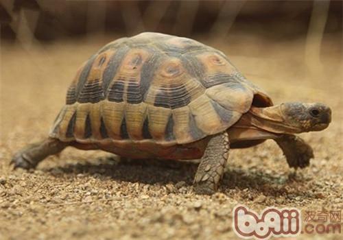 欧洲陆龟的饲养要点