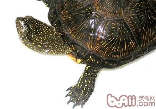 欧洲泽龟的品种简介