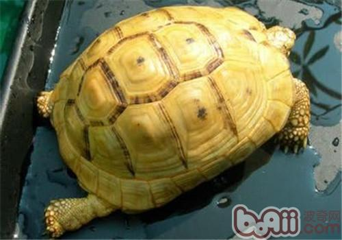 欧洲陆龟的护理知识