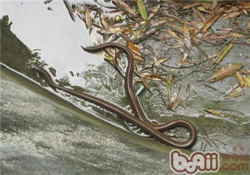 中国水蛇的饲养知识