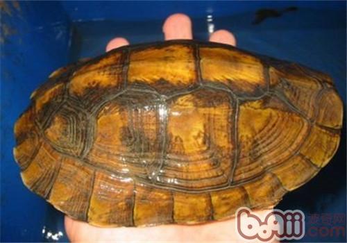 潘氏闭壳龟的外观特征