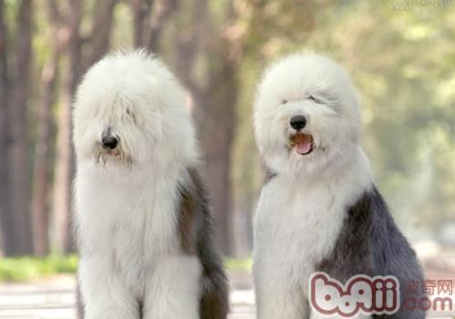 古代牧羊犬掉毛|成犬饲养-波奇网百科大全图片