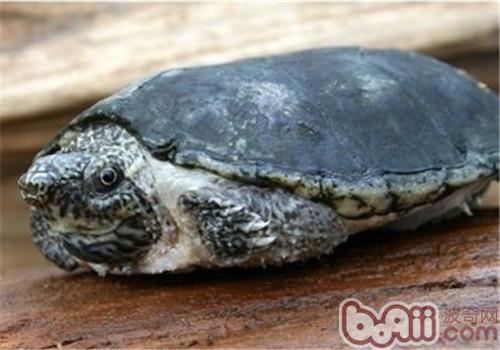 平背麝香龟的饲养要点