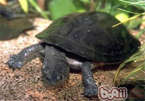 裙边龟的品种简介