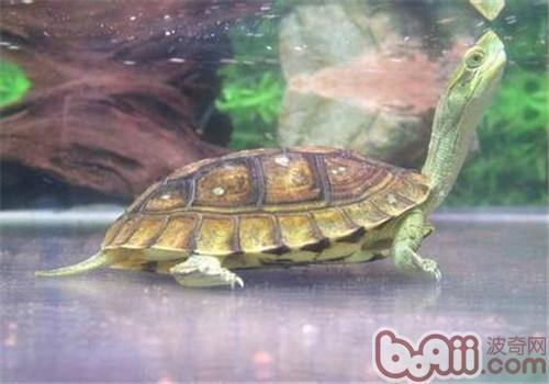 潘氏闭壳龟的护理知识