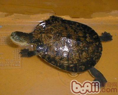 裙边龟的饲养要点
