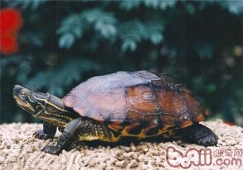 缺颌花龟的外观特征