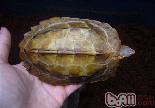 日本地龟的外观特征